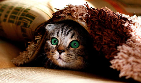 cat-hiding-under-blanket