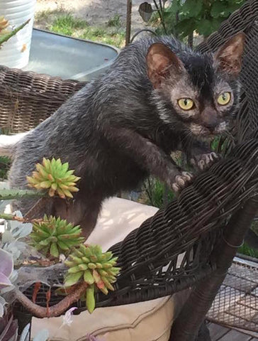 pussmeow.com-lykoi-cat