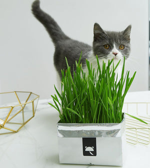 CAT GRASS SOILLESS SEEDS VETRESKA®