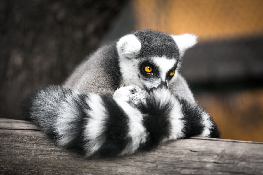 A little bit about lemurs