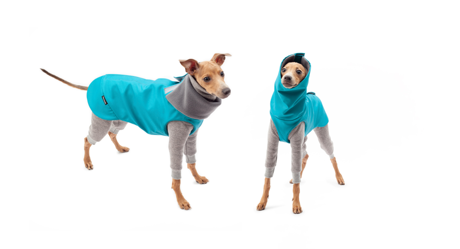 italian greyhounds outfit