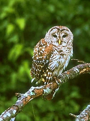 Stovall Barred Owl House