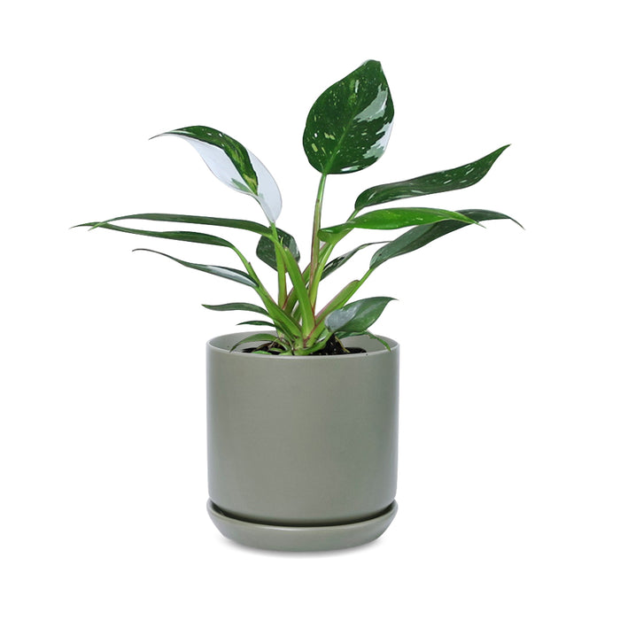Philodendron White Princess