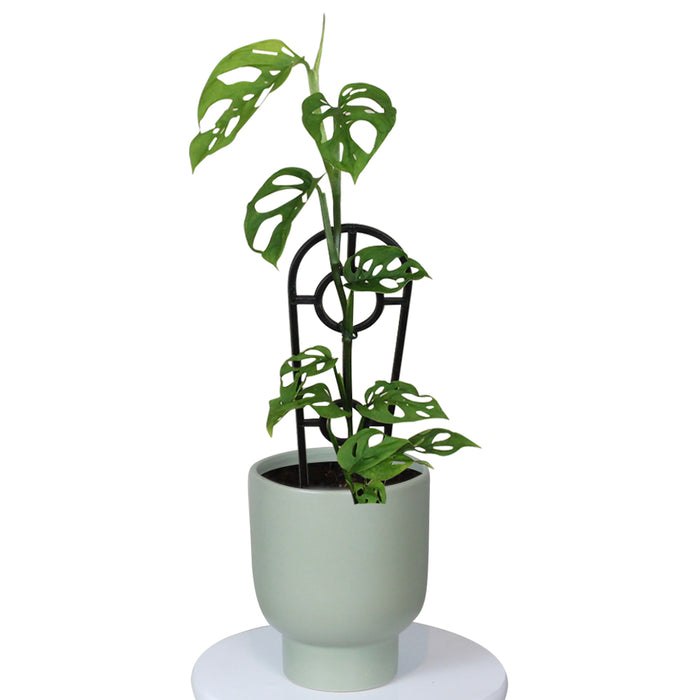 Monstera Adansonii with Pot