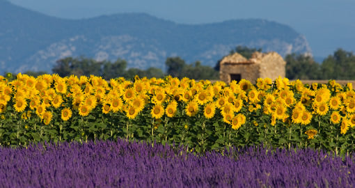 Lavender fields against a backdrop of sunflowers on a sunny day in Provence.