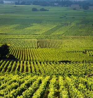 Burgundy vineyards.