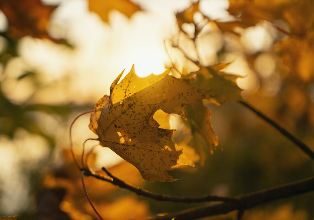 Autumn Leaf in The Sun