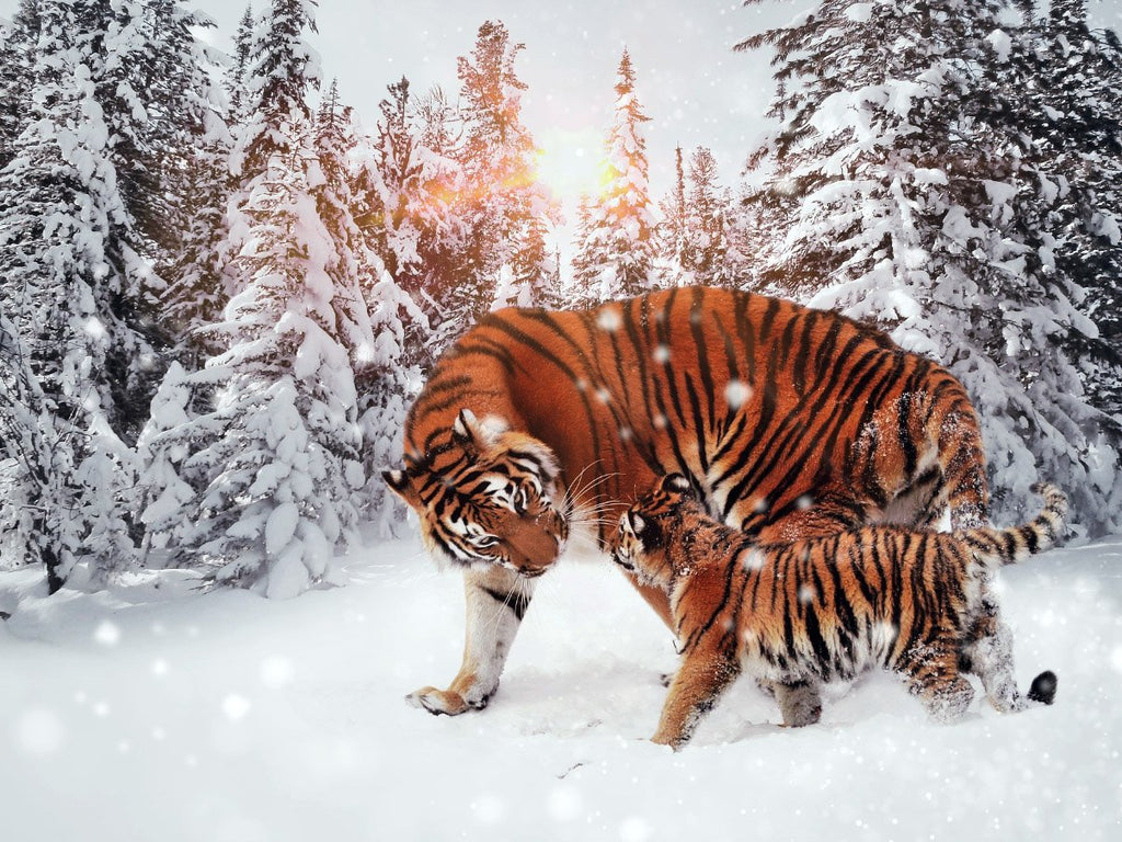 Bengal Tigers in the Snow