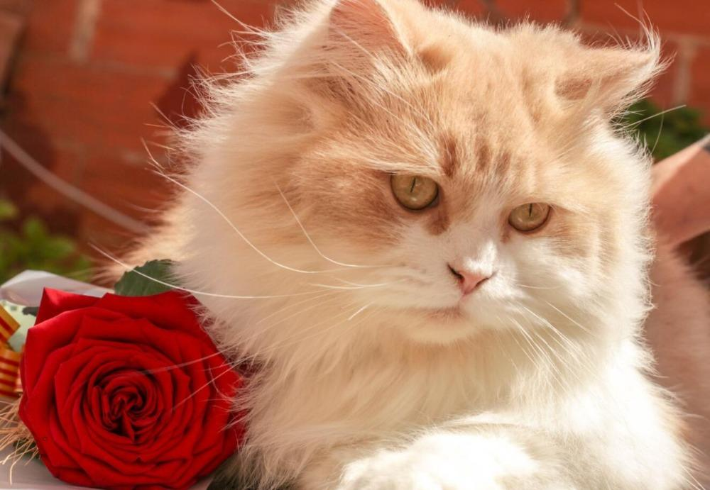 White Cat with Red Rose