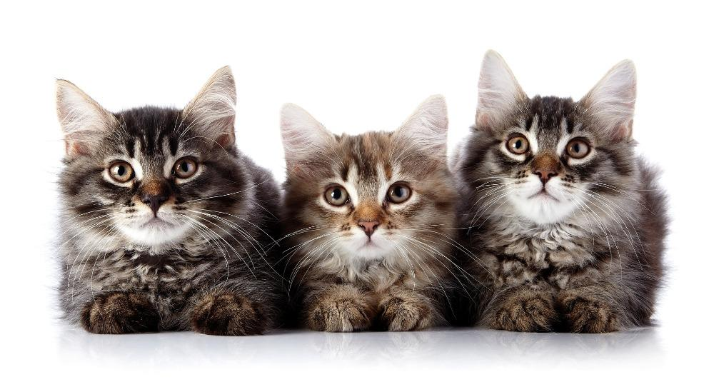 The Three Curious Kittens