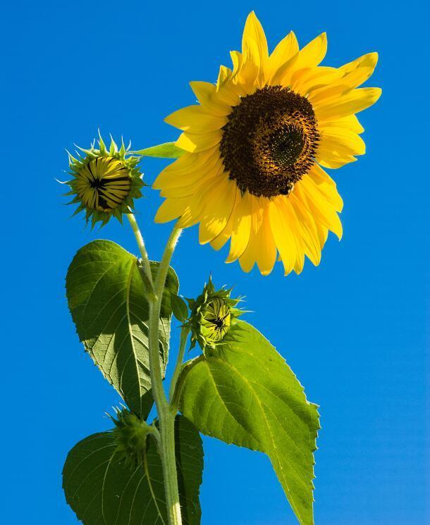 Sunflower under Blue Skies