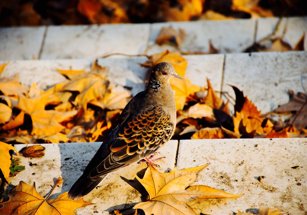 Pigeon in Autumn