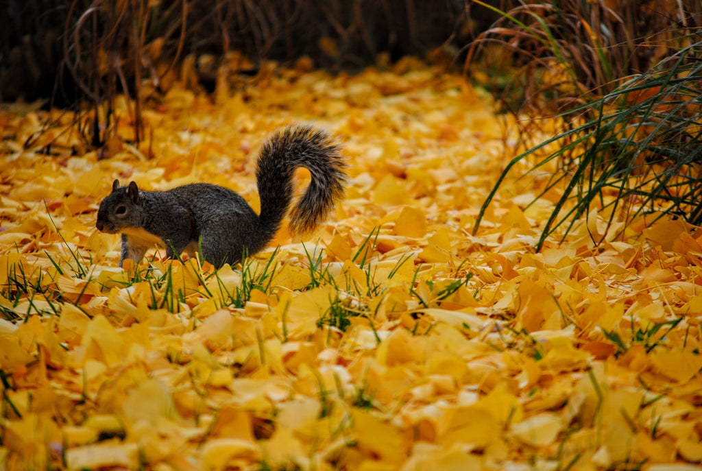 Squirrel on Yellow Leaves