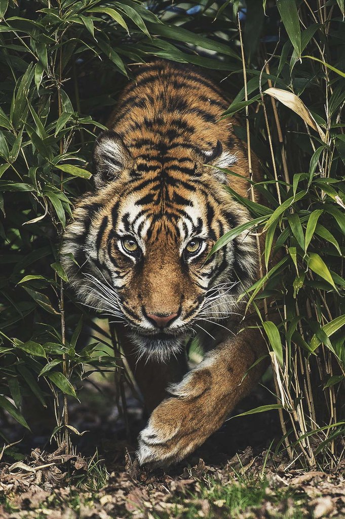 Tiger in the High Grass