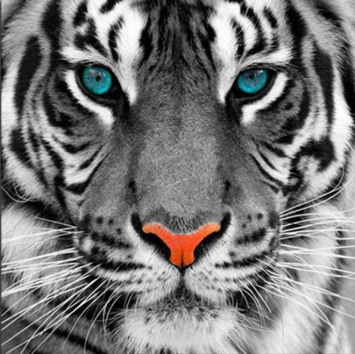 Tiger with the Blue Eyes