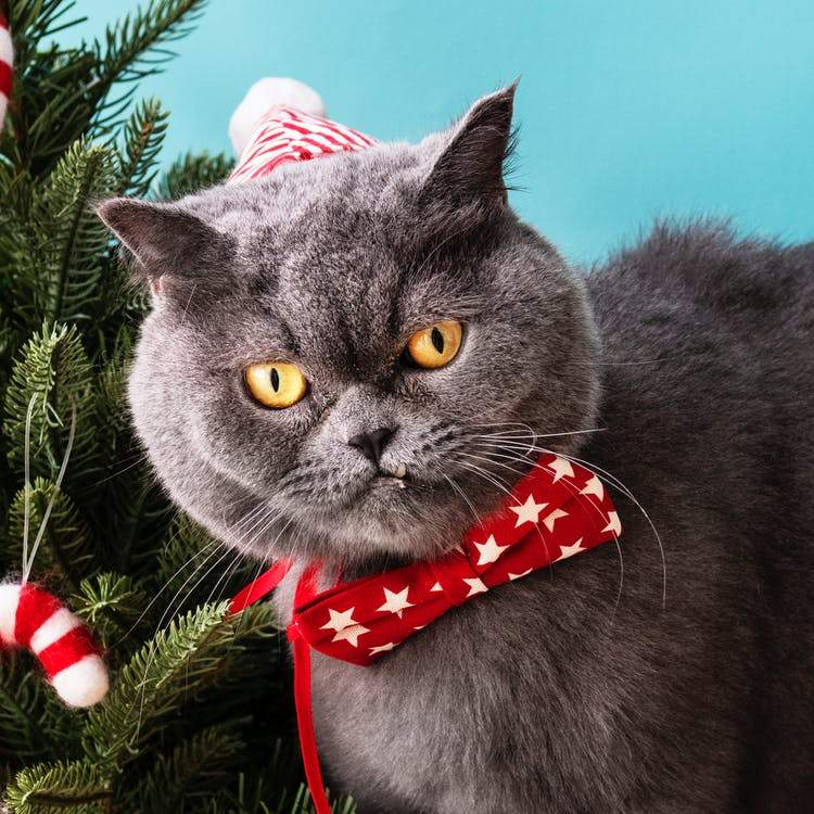 The Grumpy Christmas Cat