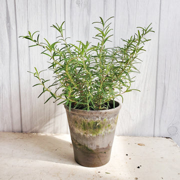 Live Rosemary in Gray French Pot