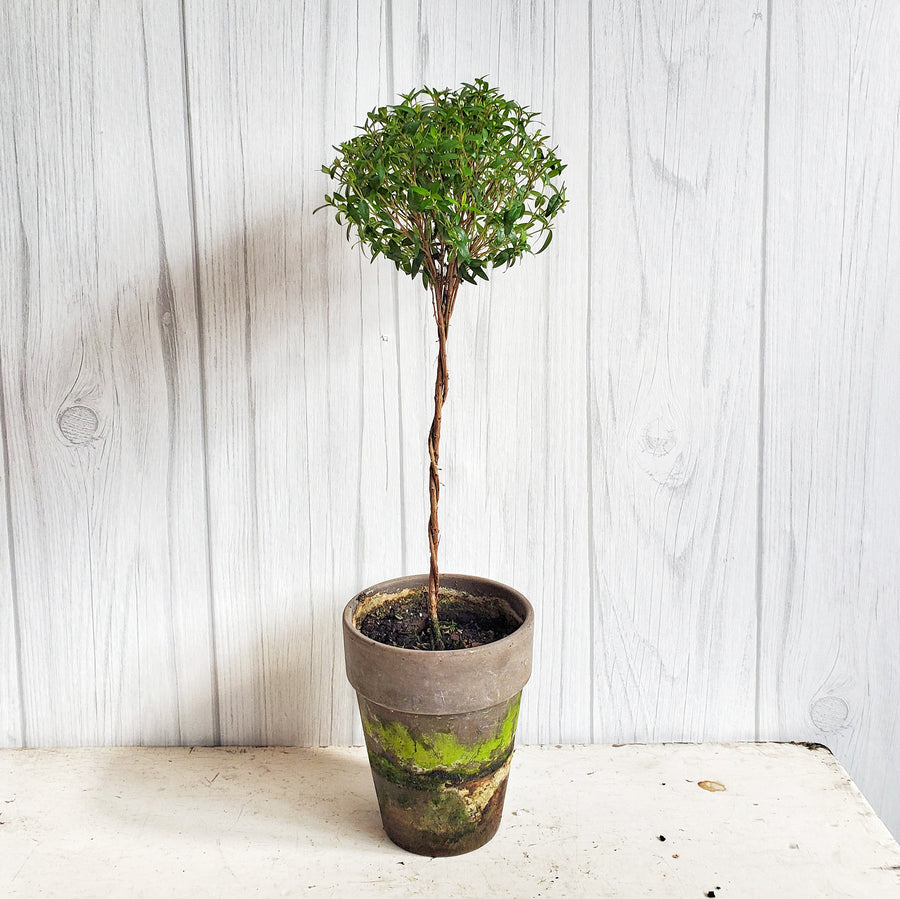 Live Myrtle Topiary 18 inch in Gray French Pot