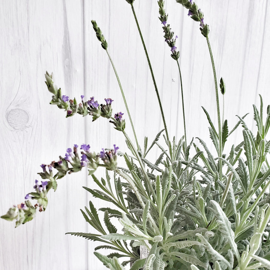 LIVE Goodwin Creek Lavender in Gray French Pot