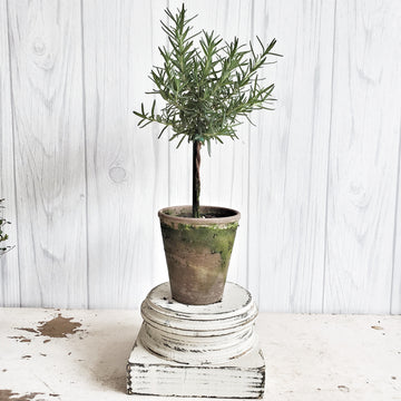 LIVE Rosemary Topiary in French Clay Pot