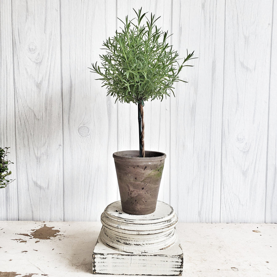 LIVE Ruffled Lavender Topiary in French Clay Pot