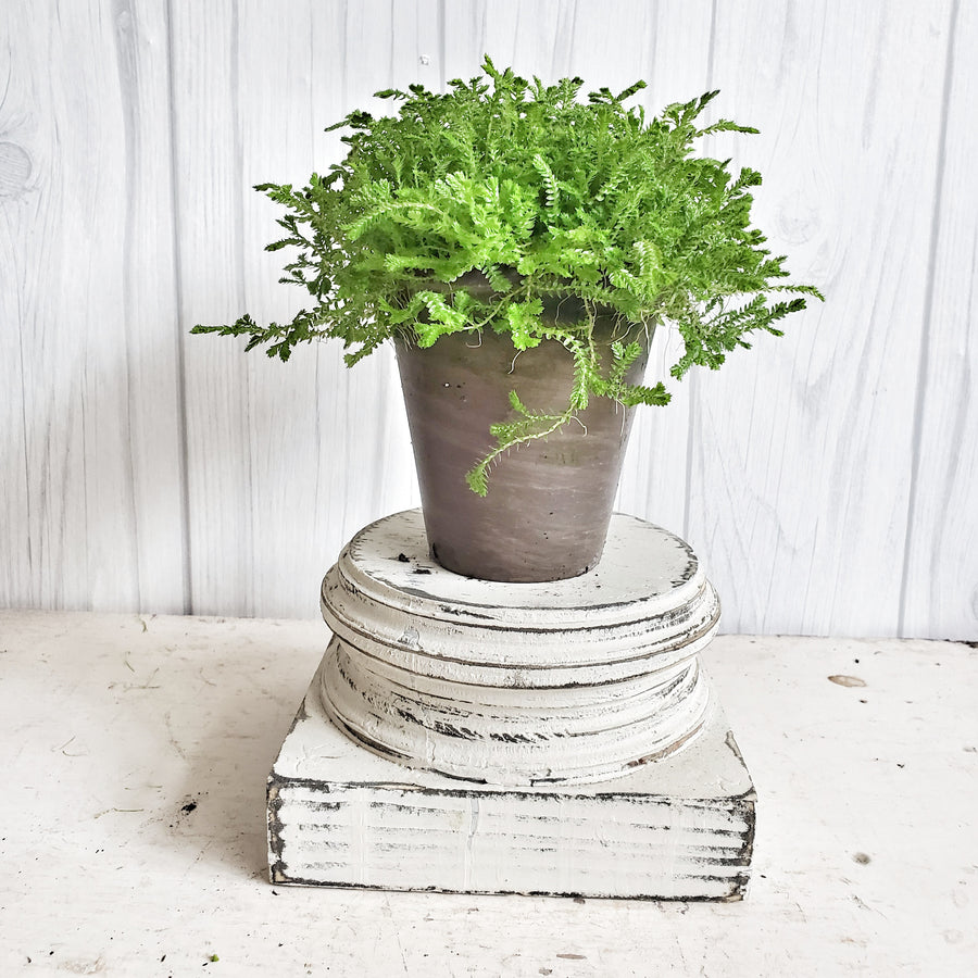 LIVE Selaginella Moss in French Clay Pot
