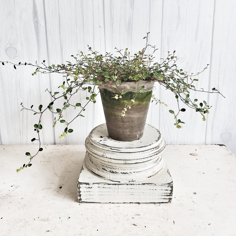 LIVE Angel Vine in French Clay Pot