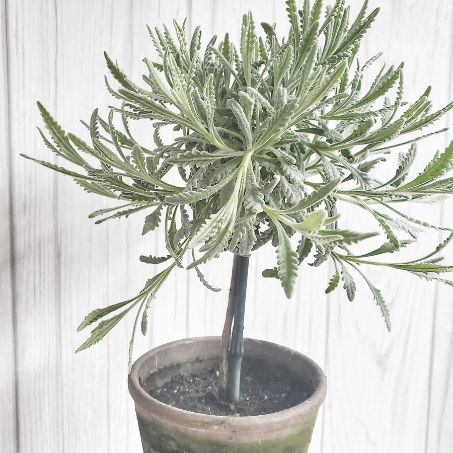 LIVE Goodwin Creek Lavender Topiary in Gray French Pot