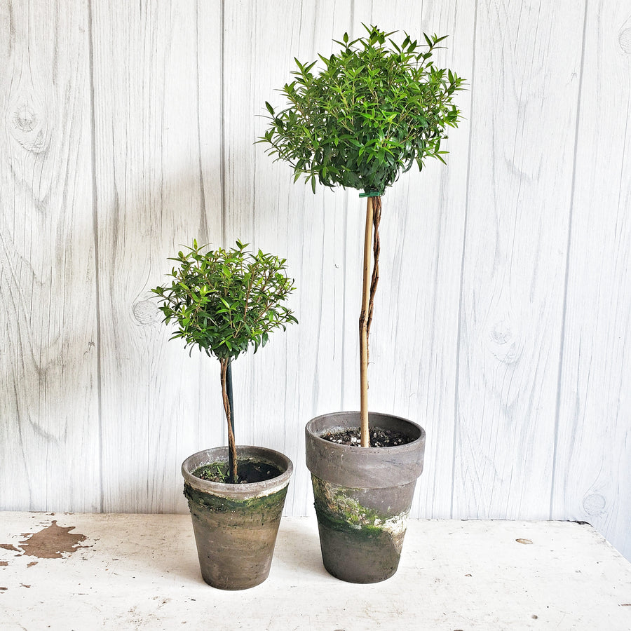 Live Myrtle Topiary 12 inch in French Gray Pot