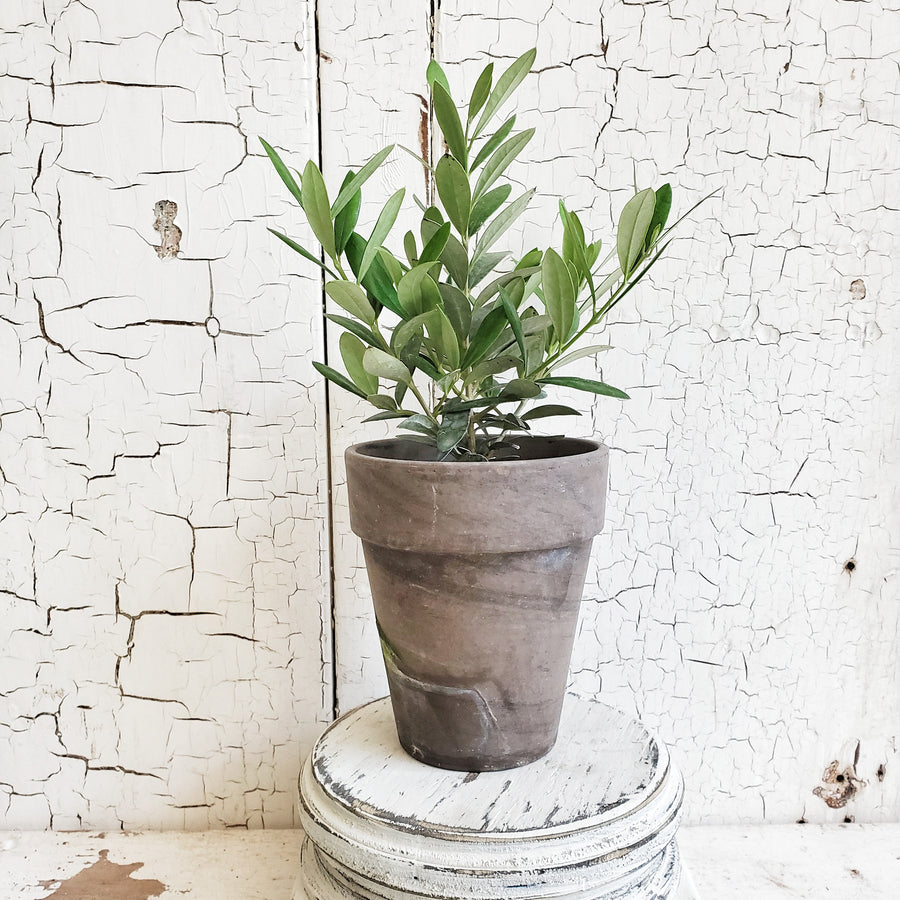 LIVE Arbequina Olive in Gray French Pot