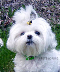 Dog Hair Accessory-Bee Double Elastics - A Pet's World
