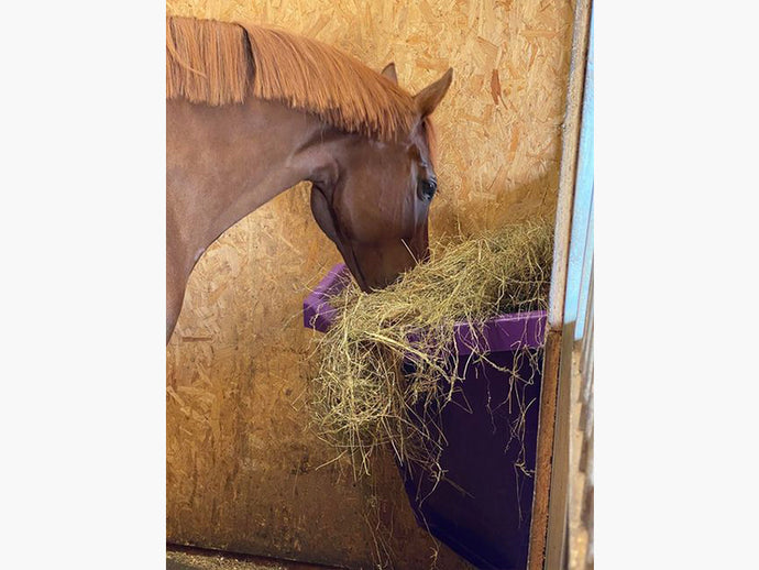 Horse eating out of Purple Corner Hay Feeder.