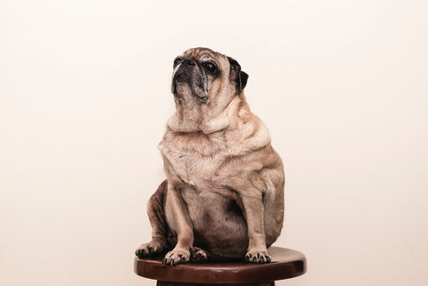 fat pug sitting on chair not exercising