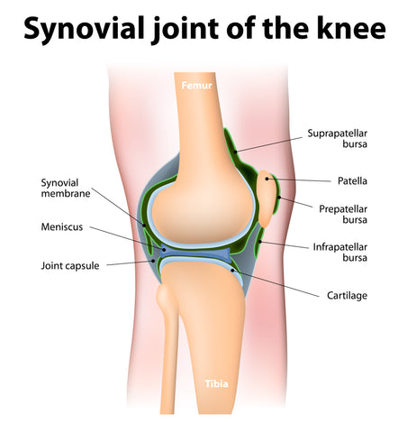 Anatomy of knee joint lateral view
