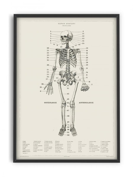 Human Anatomy - Skeleton
