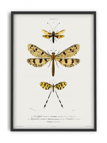 Butterfly - Entomology collection