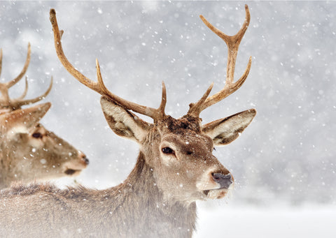 'Red Deer' Christmas cards, pack of 10