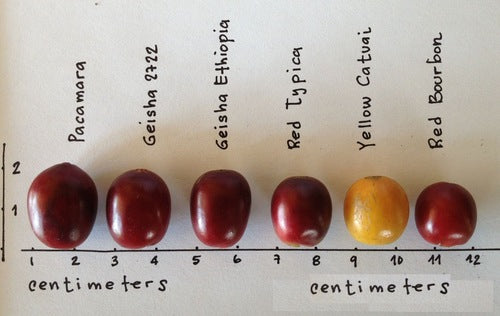 coffee varietals cherries