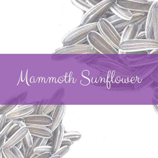 Mammoth Sunflower