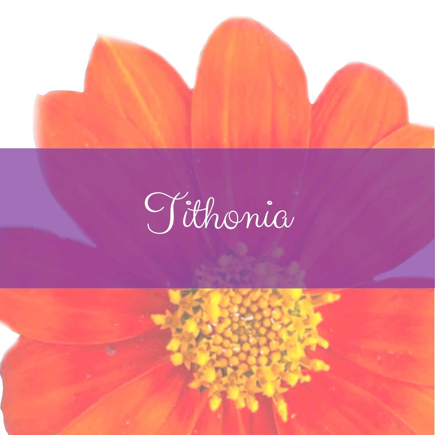 Tithonia or Mexican Sunflower