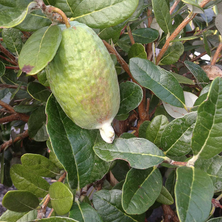 Feijoa(Acca) sellowiana
