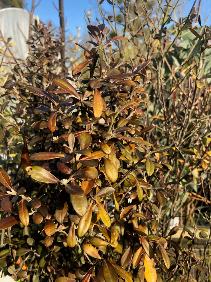 Corokia x virgata Frosted Chocolate