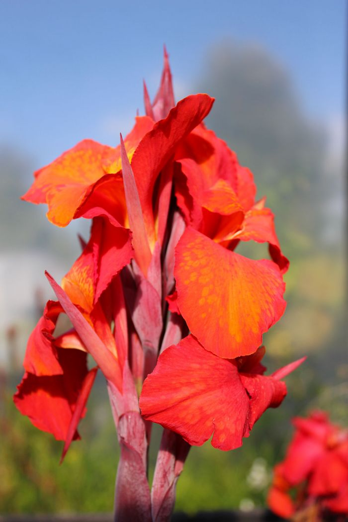 Canna General Eisenhower