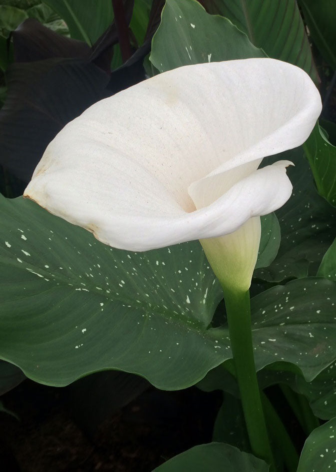 Zantedeschia spotted giant
