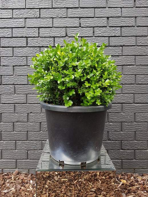 Buxus Japonica Ball (40cm)