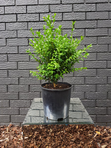 Buxus Sempervirens - English Box (200mm)