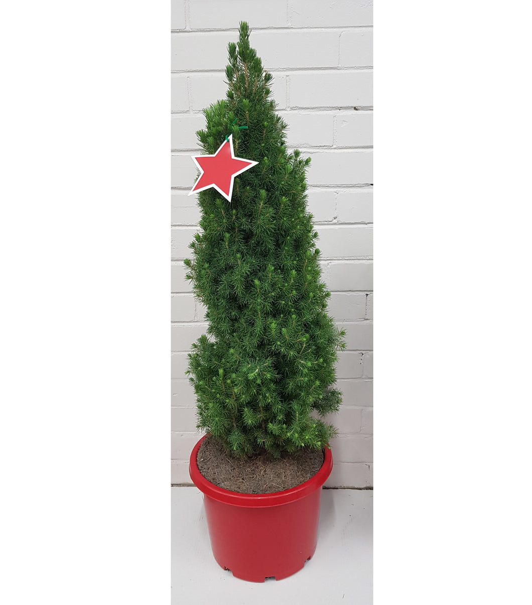 Picea Glauca 'Christmas Star'(330mm)