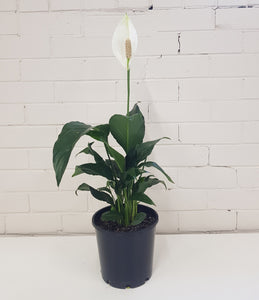 Spathiphyllum - Peace Lily with Flower (200mm)