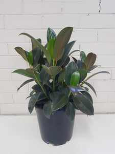 Ficus Elastica Melany - Indian Rubber Tree (250mm)
