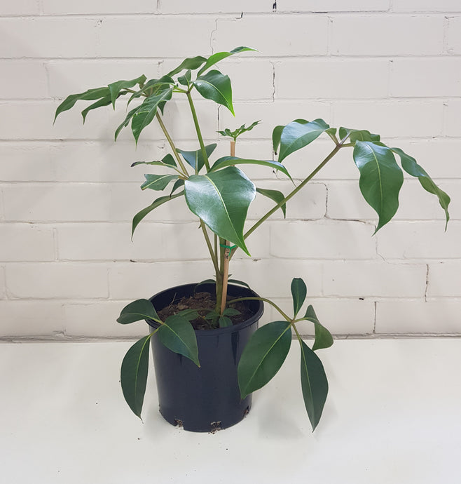 Tupidanthus Calyptratus - Umbrella Tree (200mm)